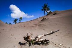 Śmiertelny drzewo w Parangtritis piaska diunie, Yogyakarta, Indonezja Zdjęcie Royalty Free
