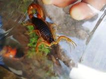 śmiertelny skorpion Fotografia Stock