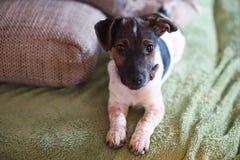 3 miesiąca stary szczeniaka Jack Russell Terrier psi relaksować na leżance przy fotografia stock