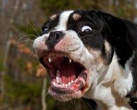 6 miesięcy szczeniaka buldog szczeka swój dużych zęby i pokazuje usta i Obraz Royalty Free