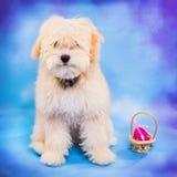 3 miesięcy maltese, pudel szczeniak pozuje z Wielkanocnym jajkiem stary/ Fotografia Royalty Free