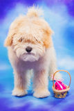 3 miesięcy maltese, pudel szczeniak pozuje z Wielkanocnym jajkiem stary/ Zdjęcie Stock