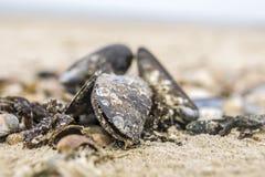 Miesmuscheln auf dem Strand Stockbild