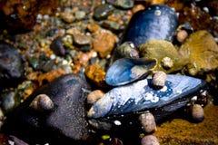 Miesmuscheln auf Küstenlinie im Stangen-Hafen Maine Lizenzfreies Stockbild