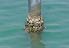 Miesmuschelschalentierbeitrag im Meer Stockfotos