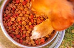 Mieszanego trakenu psia umieszcza łapa wśrodku metalu pucharu crunchy jedzenie, trawiasta powierzchnia, jak widzieć od above obrazy stock
