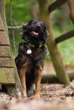 Mieszanego trakenu zaniedbany pies obediently ogląda właściciela lub coś w prawym kącie fotografia stock