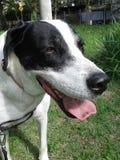 Mieszanka biały i czarny pies Zdjęcia Royalty Free