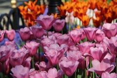 Mieszanka tulipany Fotografia Royalty Free