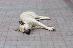 Mieszany beżu psa dosypianie na chodniczku fotografia stock