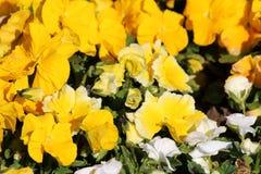Mieszany kolor żółty, bicolor biały Dziki pansy i altówka tricolor mali dzicy kwiaty z jaskrawymi płatkami gęsto zasadzającymi w  zdjęcia royalty free