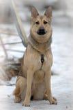 Mieszany Niemiecki Pasterski pies Zdjęcia Stock