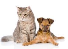 Mieszany spłodzony szczeniak i szarość kot wpólnie Odizolowywający na bielu fotografia stock