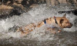 Mieszany trakenu pies przy czerwień pączka wyspą, Austin Texas obraz royalty free