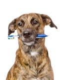 Mieszany trakenu pies z toothbrush pojedynczy białe tło zdjęcia royalty free