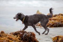 Mieszany trakenu psa bieg na plaży Obrazy Royalty Free