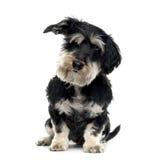 Mieszany trakenu psa obsiadanie, odizolowywający fotografia stock