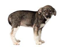 Mieszany trakenu szczeniaka politowanie Patrzeje Odizolowywający na bielu obraz stock