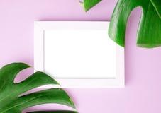 Mieszkanie odgórnego widoku fotografii nieatutowa rama z Dwa zielonymi monstera liśćmi na jaskrawym różowym tle Tropikalny egzami obrazy royalty free
