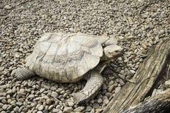 mieszkaniowy rodziny ziemi gadów testudinidae żółw Obraz Stock