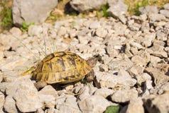 mieszkaniowy rodziny ziemi gadów testudinidae żółw Obrazy Royalty Free