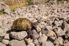 mieszkaniowy rodziny ziemi gadów testudinidae żółw Fotografia Stock