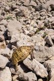 mieszkaniowy rodziny ziemi gadów testudinidae żółw Obraz Royalty Free