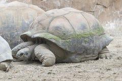 mieszkaniowy rodziny ziemi gadów testudinidae żółw Obrazy Stock