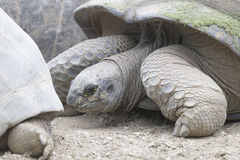 mieszkaniowy rodziny ziemi gadów testudinidae żółw Zdjęcie Stock