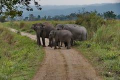 Mieszkanowie Kaziranga park narodowy Słoń obraz royalty free