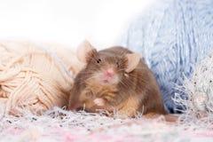 Śmieszna domowa mysz z sumiastymi bokobrodami Fotografia Royalty Free