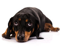 śmieszna psia twarz Zdjęcia Royalty Free