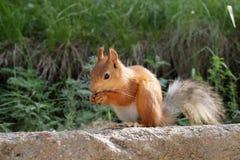 śmieszna wiewiórka Fotografia Royalty Free