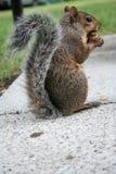 śmieszna wiewiórka Fotografia Stock