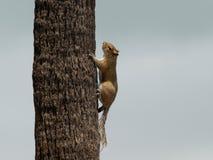 Śmieszna wiewiórka w drzewie obraz stock