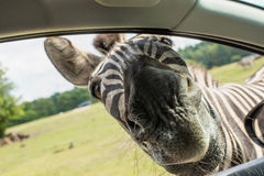 Śmieszne twarzy zebry w samochodowym okno Zdjęcia Stock