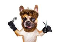 ?miesznego psiego fryzjera m?skiego groomer francuskiego buldoga chwyta imbirowi no?yce i hairbrush stary odizolowane bia?e t?o obraz royalty free