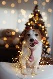 ?MIESZNI bo?e narodzenia LUB nowego roku pies JACK RUSSELL szczeniak ono UŚMIECHA SIĘ I ŁĄCZY Z jęzorem BYĆ UBRANYM rewolucjonist obrazy royalty free