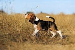 Śmieszny beagle szczeniaka jesieni spacer obraz royalty free