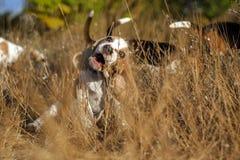 Śmieszny beagle szczeniaka jesieni spacer Fotografia Royalty Free