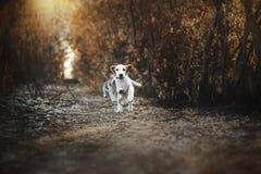 Śmieszny beagle szczeniaka jesieni spacer Fotografia Stock