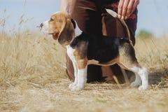 Śmieszny beagle szczeniaka jesieni spacer obrazy stock