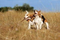 Śmieszny beagle szczeniaka jesieni spacer Obrazy Royalty Free