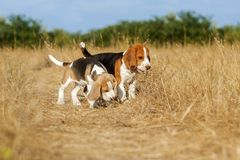 Śmieszny beagle szczeniaka jesieni spacer Zdjęcie Royalty Free