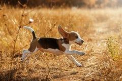 Śmieszny beagle szczeniaka jesieni zmierzchu spacer Obraz Stock