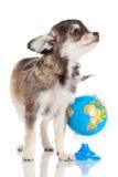 śmieszny chihuahua szczeniak Fotografia Royalty Free