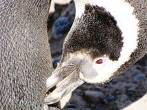 Śmieszny pingwin drapa swój belfra przy Punta Tombo, Argentyna Obraz Royalty Free