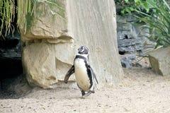 Śmieszny pingwinu odprowadzenie Obrazy Royalty Free