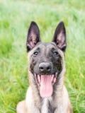 Śmieszny portret belgijska baca, malinois, pies, z jego mout Zdjęcia Royalty Free