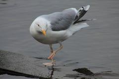 ?mieszny seagull zdjęcie royalty free